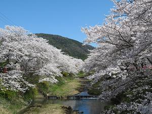 桜と川と山