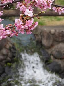 河津桜と滝