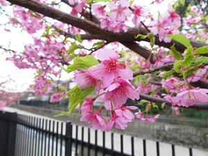 葉が生え始めた河津桜