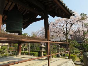 鐘楼越しに見る枝垂れ桜