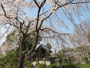 見上げる枝垂れ桜
