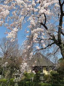 枝垂れ桜越しに見る本堂