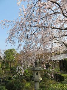 灯籠と枝垂れ桜