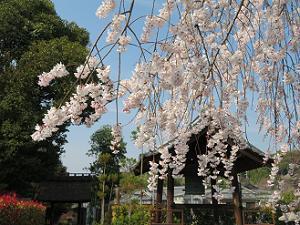 枝垂れ桜と鐘楼