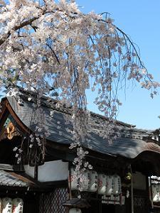 本殿と枝垂れ桜