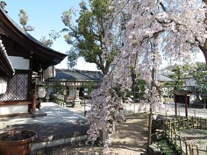 本殿脇から見る枝垂れ桜