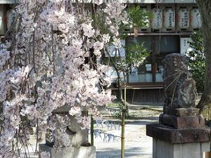 枝垂れ桜のアップ