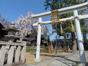 鳥居と枝垂れ桜