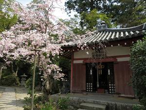 経蔵と八重紅枝垂れ桜