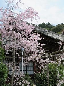 宸殿と八重紅枝垂れ桜