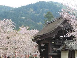 勅使門と桜