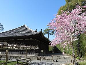 観音堂と八重紅枝垂れ桜