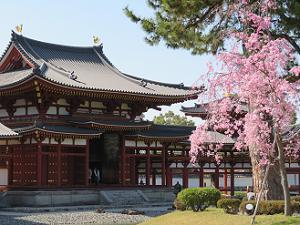 鳳凰堂と八重紅枝垂れ桜
