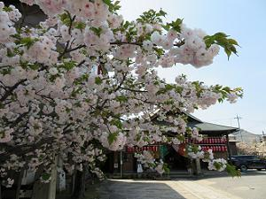 入り口の八重桜