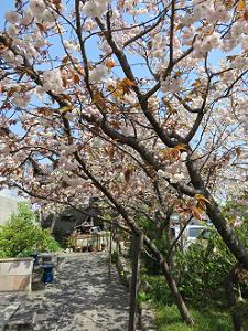 見ごろの普賢象桜