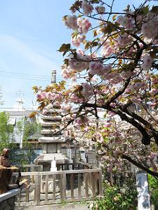 石塔と普賢象桜