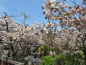 咲き誇る普賢象桜
