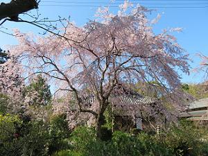 三春滝桜と青空