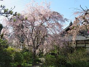 三春滝桜と本堂