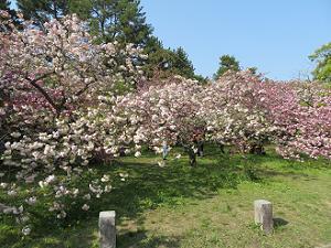 様々な八重桜
