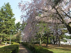 遊歩道わきの糸桜