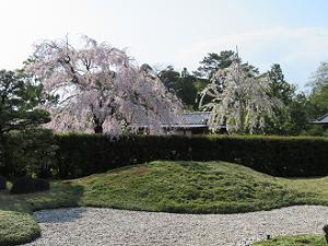 城南離宮の庭と八重紅枝垂れ桜
