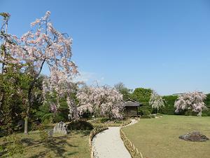 青空と芝生と桜
