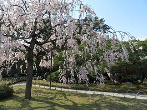 日差しを浴びた八重紅枝垂れ桜