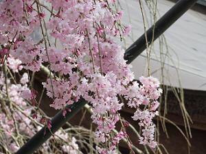 みあれ桜のアップ
