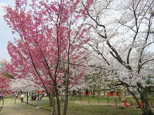 陽光桜とソメイヨシノ