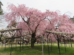 満開の斎王桜