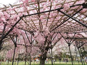 斎王桜の傘