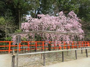 満開の風流桜