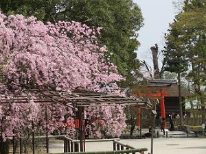 風流桜と鳥居