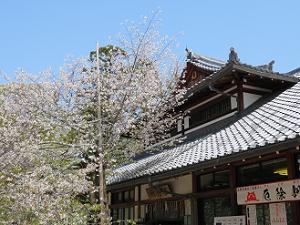 社務所と北野桜