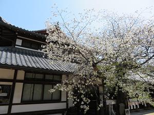 満開の北野桜