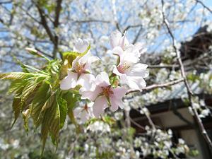 北野桜のアップ