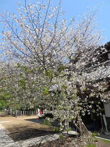 青空と北野桜