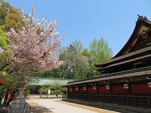 八重桜と本殿