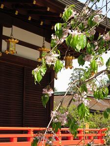終わりが近づく八重紅枝垂れ桜
