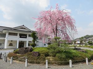修行道場前の藤右衛門桜