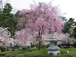 藤右衛門桜と桜園
