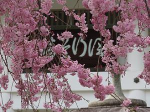 藤右衛門桜のアップ