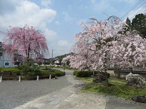 参道の枝垂れ桜