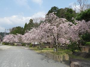 咲きそろった枝垂れ桜