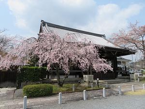 大書院と枝垂れ桜