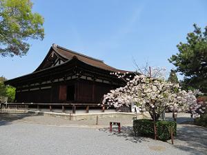 本堂の普賢象桜