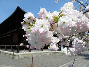 普賢象桜のアップ