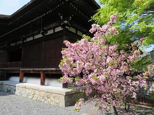 八重桜と本堂
