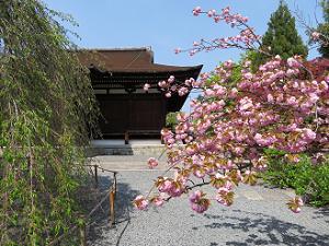 関山桜と本堂